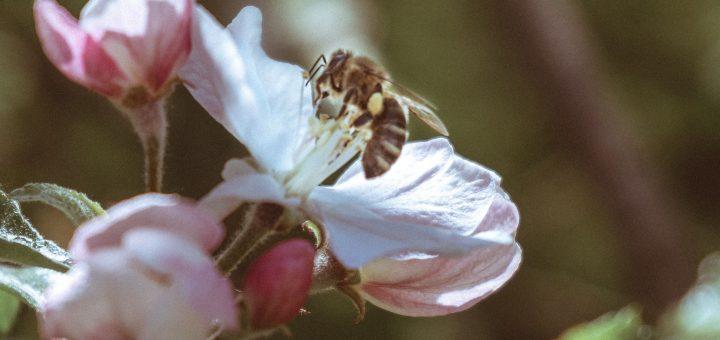 L'interprétation des rêves en Islam sur les abeilles.